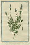 Stoechas [French Lavender]