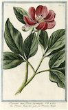 Peonia mas flores incarnato [Bishop's Flower]  from Giorgio Bonelli's 'Hortus Romanus', Romae: Bouchard et Gravier, 1772 [-93], vol. V pl.32