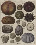 'Echinus', Genus XVIII, The Genera verminum, London, 1783 (tab.11)