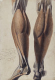 Anatomical drawing showing the muscles and bones of the lower leg