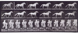 Trotting free; light-gray horse Eagle; from 'Animal Locomotion. An Electro-Photographic Investigation of Consecutive Phases of Animal Movement 1872-1885'