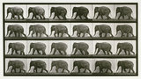 Elephant; walking