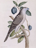 The Brown Hawk', from 'New illustrations of zoology', London, 1776