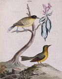 The Yellow-breasted Fly-catcher' and 'Green Warbler', from 'New illustrations of zoology', London, 1776