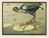 The Gallinule, from Maurice and Edward Detmold's 'Pictures from Birdland', London, J.M. Dent & Co.,1899