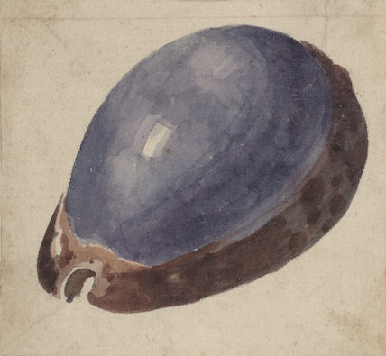 A drawing of the Cypraea lurida shell