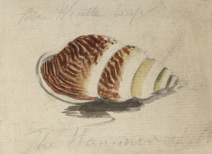 A shell with brown and yellow stripes (Placostylus species)