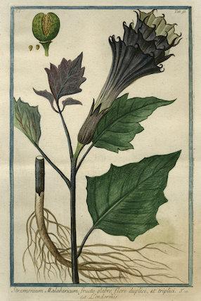 Stramonium Malabaricum [Thornapple]