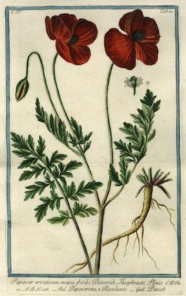 Papaver erraticum [Opium Poppy]