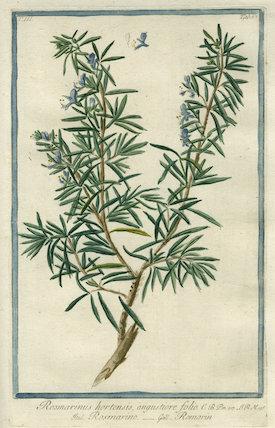 Rosmarinus hortensis [Rosemary]