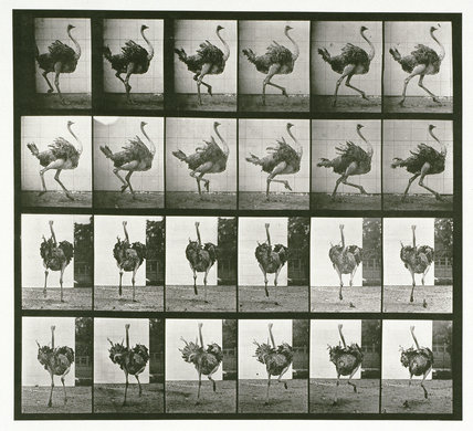 Ostrich; running