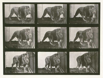 Lion; walking; from 'Animal Locomotion. An Electro-Photographic Investigation of Consecutive Phases of Animal Movement 1872-1885'