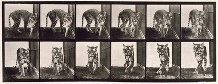 Tigress; walking and turning around