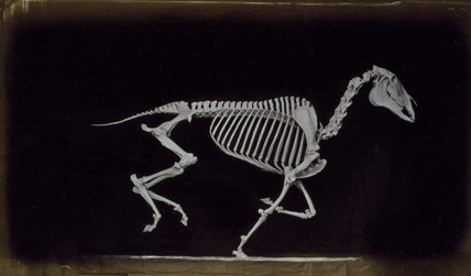 Skeleton of horse, running, leaving the ground
