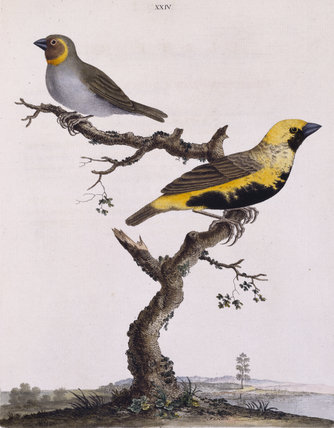 The Brown-cheeked Grosbeak' and 'Black-bellied Grosbeak', from 'New illustrations of zoology' London, 1776