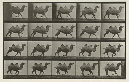 Bactrian camel; galloping