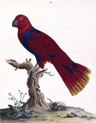 The Blue-breasted Parrot