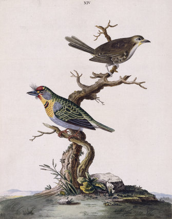 The Red-crowned Barbet' and 'Olive-coloured Warbler', from 'New illustrations of zoology', London, 1776