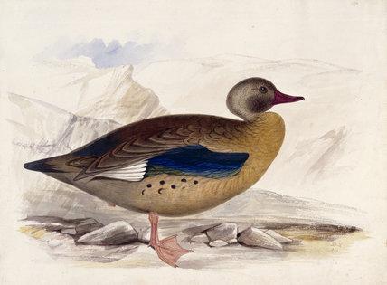 A goose, probably an Orinoco Goose, in profile