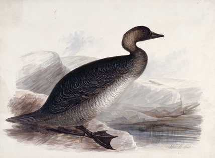 A goose, probably a Common Scoter,  in profile