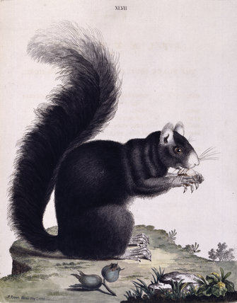 The Black Squirrel with a white nose', from 'New illustrations of zoology', London, 1776