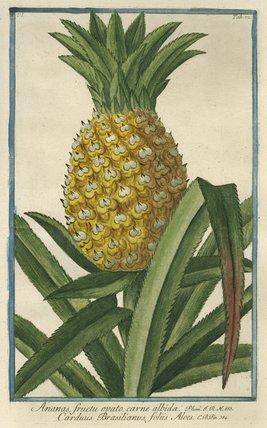 Ananas [Pineapple], from Giorgio Bonelli's 'Hortus Romanus', Romae: Bouchard et Gravier, 1772 [-93], vol. I