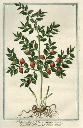 Ruscus Myrti-folius aculeatus [Common Knee Holly or Butcher's Broom], from Giorgio Bonelli's Hortus Romanus', Romae: Bouchard et Gravier, 1772 [-93], vol. I