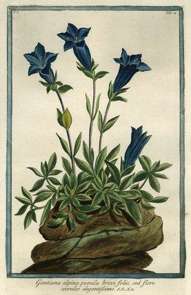 Gentiana Alpina [Southern Gentian], from Giorgio Bonelli's 'Hortus Romanus', Romae: Bouchard et Gravier, 1772 [-93], vol. I