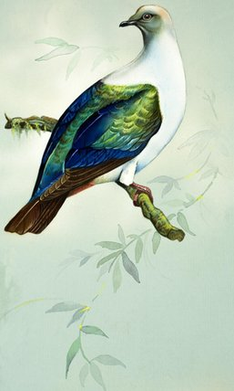 Imperial Fruit Pigeon