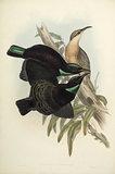 Victoria Rifle Bird