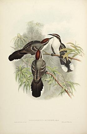 Chestnut-crowned Pomatorhinus