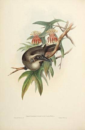 Helmeted Honey-eater