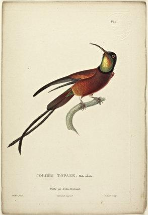 Colibri Topaz (Adult Male)