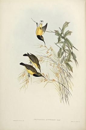 Australian Sunbird