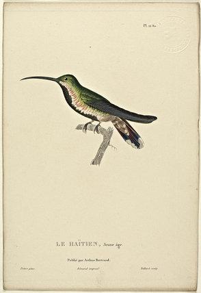 Le Haitien (Juvenile)