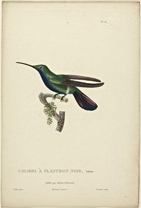 Colibri A Plastron Noir (Adult)