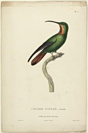 Colibri Topaz   (Female)