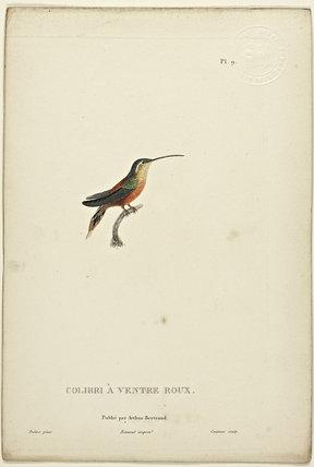 Colibri A Ventre Roux