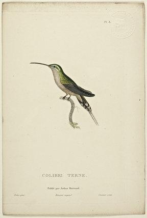 Colibri Terne