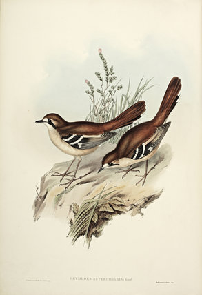 Eastern Scrub Robin