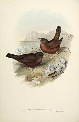 Vinous-tinted Blackbird