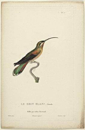 Le Brin Blanc (Female)