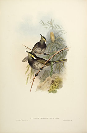 Fasciated Honey-eater