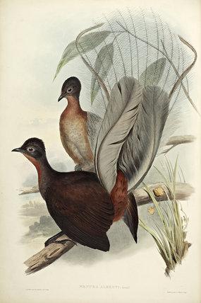 Albert Lyre Bird