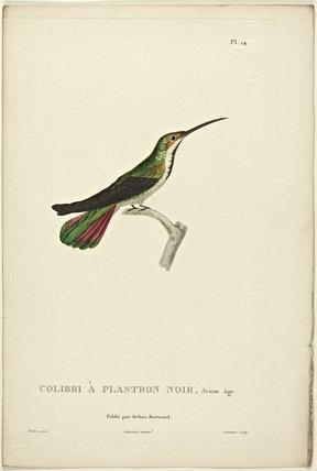 Colibri A Plastron Noir (Juvenile)
