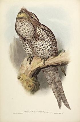 Papuan Podargus