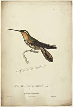 Ramphodon Tachete
