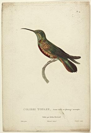 Colibri Topaz (Young Male)