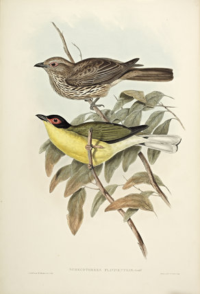 Yellow-bellied Flaviventris