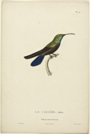Le Caraibe (Adult)